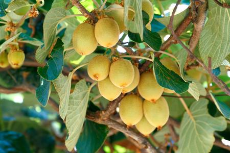 kiwi fruta: El kiwi  grosella china (Actinidia sp.) En la madera de la vid. El kiwi es originario de China y de amplia difusión en el mundo