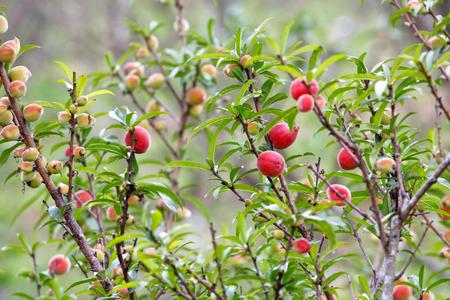 Peach (Prunus persica) fruits on the tree Stock Photo