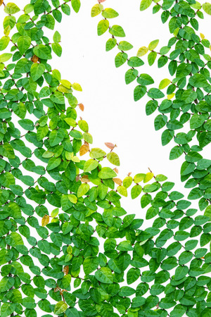 Creeping fig climbing fig (Ficus pumila) on white wall