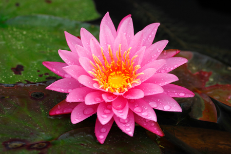 Closeup freshness pink lotus (Nymphaea lotus  water lilies) in full bloom Stock Photo