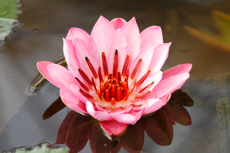 Full bloom lotus (Nymphaea lotus  water lilies) in the water Stock Photo