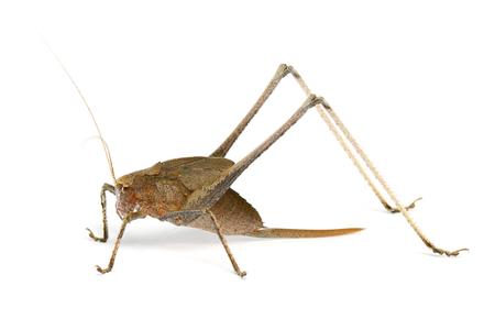 Katydid grasshopper (female) from Thailandsoutheast Asia on white background