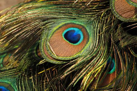 Green peafowl  peacock (Pavo muticus) eyespot on tail feathers (shallow dof) Stock Photo