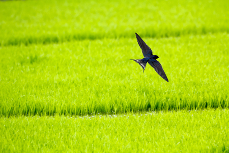 Barn swallow (Hirundo rustica) flying over green paddy field background