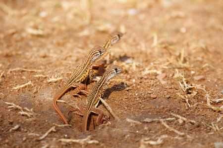 Newborn butterfly lizard Butterfly agama (Leiolepis belliana ssp. ocellata) emerge from the hole