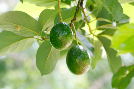 Avocado fruits (Persea americana) on the tree branch