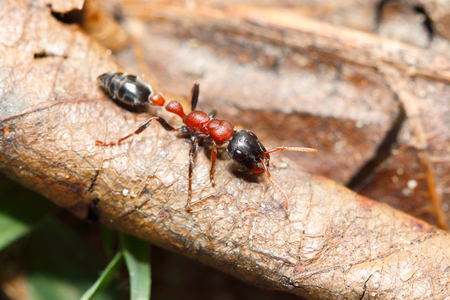 Bi-coloured arboreal ant (Tetraponera rufonigra) a dangerous ant that have painful sting can cause allergic reactions and dead in human by anaphylactic shock (taken from Thailand, Southeast Asia)