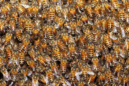 Closeup honey bees (Apis sp.) background on the beehive Banco de Imagens