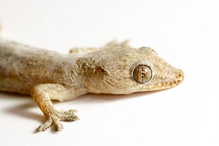 Closeup Asian house gecko (Hemidactylus sp.) on white background 스톡 콘텐츠