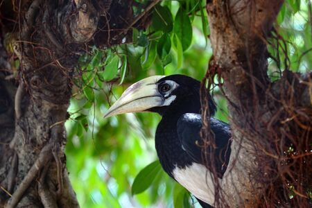 Oriental pied hornbill (Anthracoceros albirostris)(juvenile) on ficus tree, found in the Indian Subcontinent and Southeast Asia Stock Photo