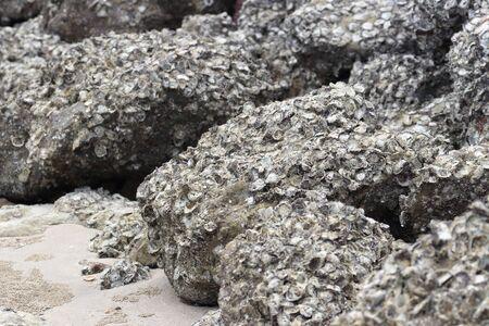 A lot of rock oyster grow on the rock near the sea beach