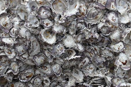 Closeup rock oyster growing and embedded on the rock surface