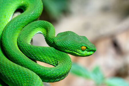Close up Large-eyed Green Pit viper (Trimeresurus macrops) the endemic specie of Southeast Asia
