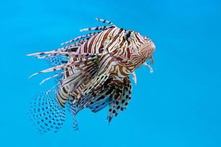 Lionfish, Zebrafish, Turkeyfish, Firefish, Butterfly-cods (Pterois sp.) a venomous marine fish on blue background