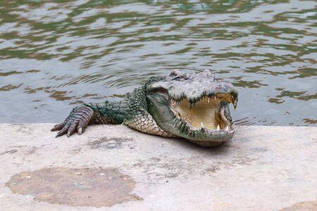 Relaxing crocodile sleeping on the curb pool