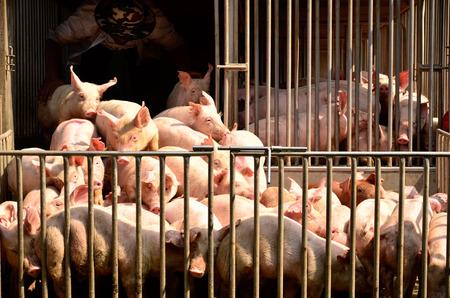 Young pig at pigsty. Pig farm Banque d'images
