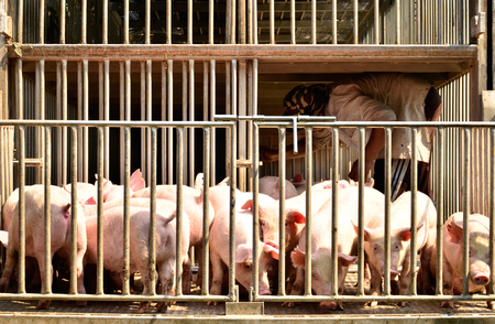 swine flu vaccines: Young pig at pigsty. Pig farm Stock Photo