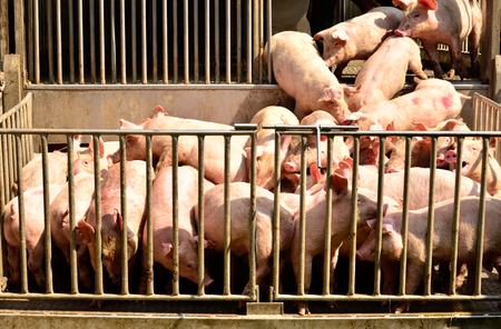 young pig: Young pig at pigsty. Pig farm Stock Photo