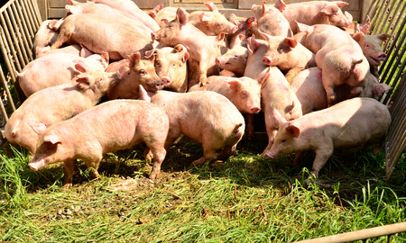 pigsty: Young pig at pigsty. Pig farm Stock Photo