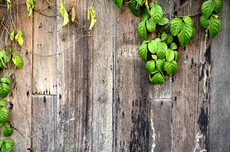 background textures: ivy on wood background textures Stock Photo