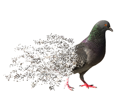 dispersion: pigeon isolate on white background, dispersion style