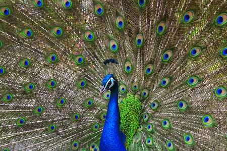 blue peafowl: peacock or peafowl is spread tail feathers