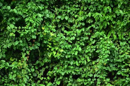 ivy wall 写真素材