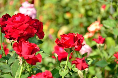 rosaceae: field of roses Rosaceae