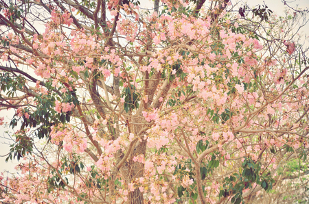 rosy: Pink trumpet tree flower blooming in valentines day like sweet dream Tabebuia rosea, Family Bignoniaceae, common name Pink trumpet tree, Rosy trumpet tree, Pink Poui, Pink Tecoma