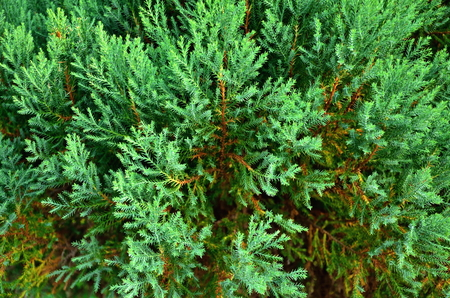 arborvitae: Close up texture of small green leaves Chinese Arborvitae or Orientali Arborvitae, Science name as Thuja orientalis Endl