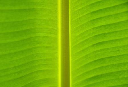 banana leaf for background textures