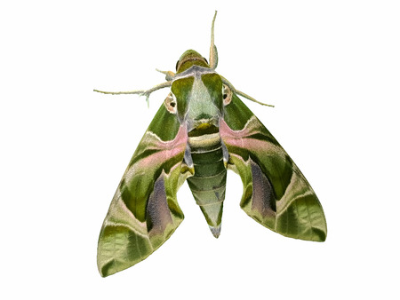 Daphnis nerii (Hawk moth) isolated on white background for die cut with clipping path Stock Photo