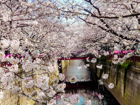 Scenery of Meguro river when white cherry blossoms or sakura full bloom with decorate pink lantern for celebrate Hanami festival.