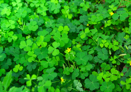 clovers: Green clovers leaf with little yellow flower (selective focus) Stock Photo