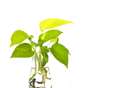 clematis: golden pothos with root in reuse glass bottle on white background, copy space