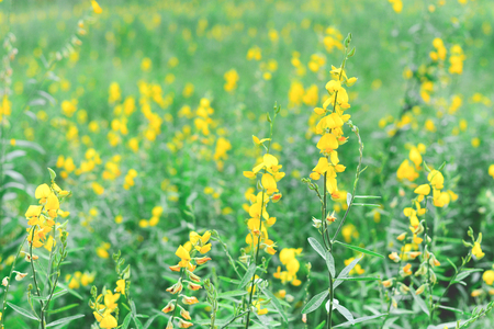 sunhemp flower field(crotalaria juncea ,Indian hemp or madras hemp) with soft pastel tone (selective focus) Stock Photo
