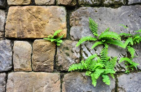 Nephrolepis exaltata fern (the sword fern) growing between a space of stone brick wall