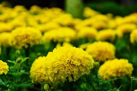 yellow marigolds (Tagetes erecta, Mexican marigold, Aztec marigold, African marigold), selective focus Stok Fotoğraf