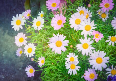 beautiful pink and white daisy or chamomile flowers blooming in a sunny day with soft pastel color filter and vintage style (selective focus)