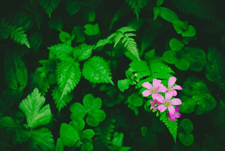 beautiful wild flowers, group of tiny bright purple flowers in the forest with clover leaf, fern and different green leaves background, calm concept