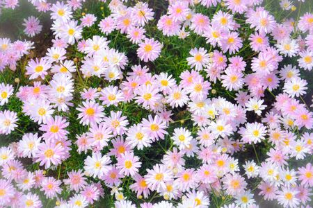 top view of beautiful sweet pink daisy or chamomile flowers blooming in a sunny day with soft pastel color filter and vintage style