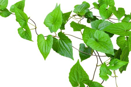 heart shaped green leaf vines isolated on white background, copy space