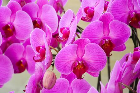 Close up of purple orchids, beautiful  Phalaenopsis streaked orchid flowers (selective focus)