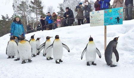 parade: Penguin Parade