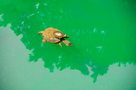 A Baby turtle ride on a mother s back in green sea water photo