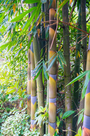 seem: Bamboo in Green Forest Grove seem healthy Stock Photo