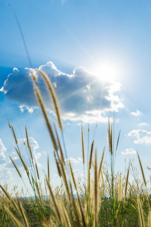 perianth: Lemma grass that the light of the sun shining behind with bright blue sky Stock Photo