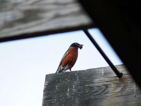 regenworm: vogel vangen regenworm Stockfoto