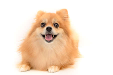 lovely dog smiling on white background