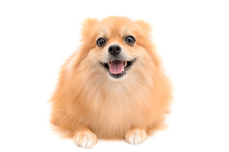 pomeranian dog on white background Banco de Imagens